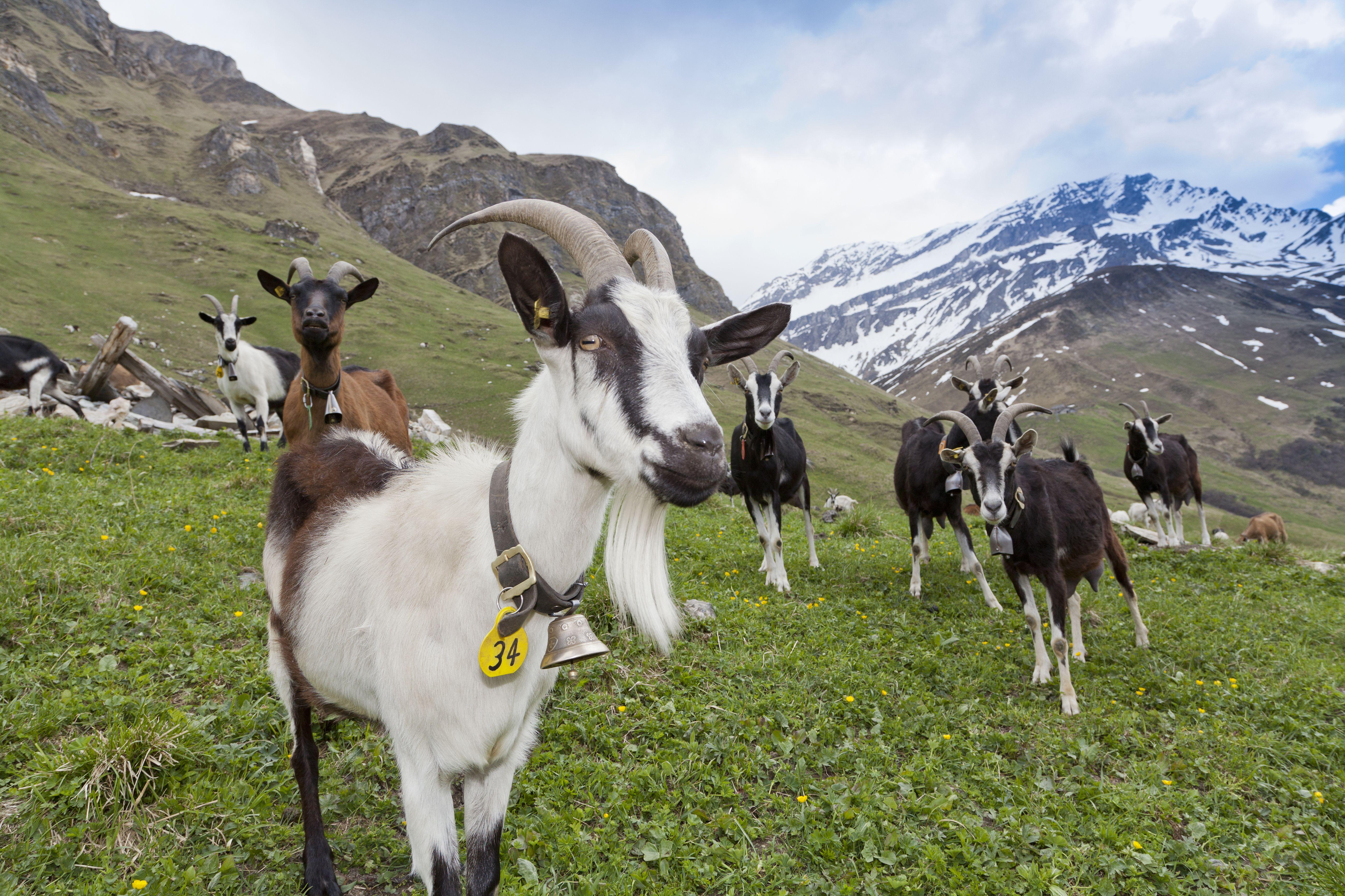Ziegenpatenschaft Werde einen Sommer lang Pate oder Patin einer Ziege