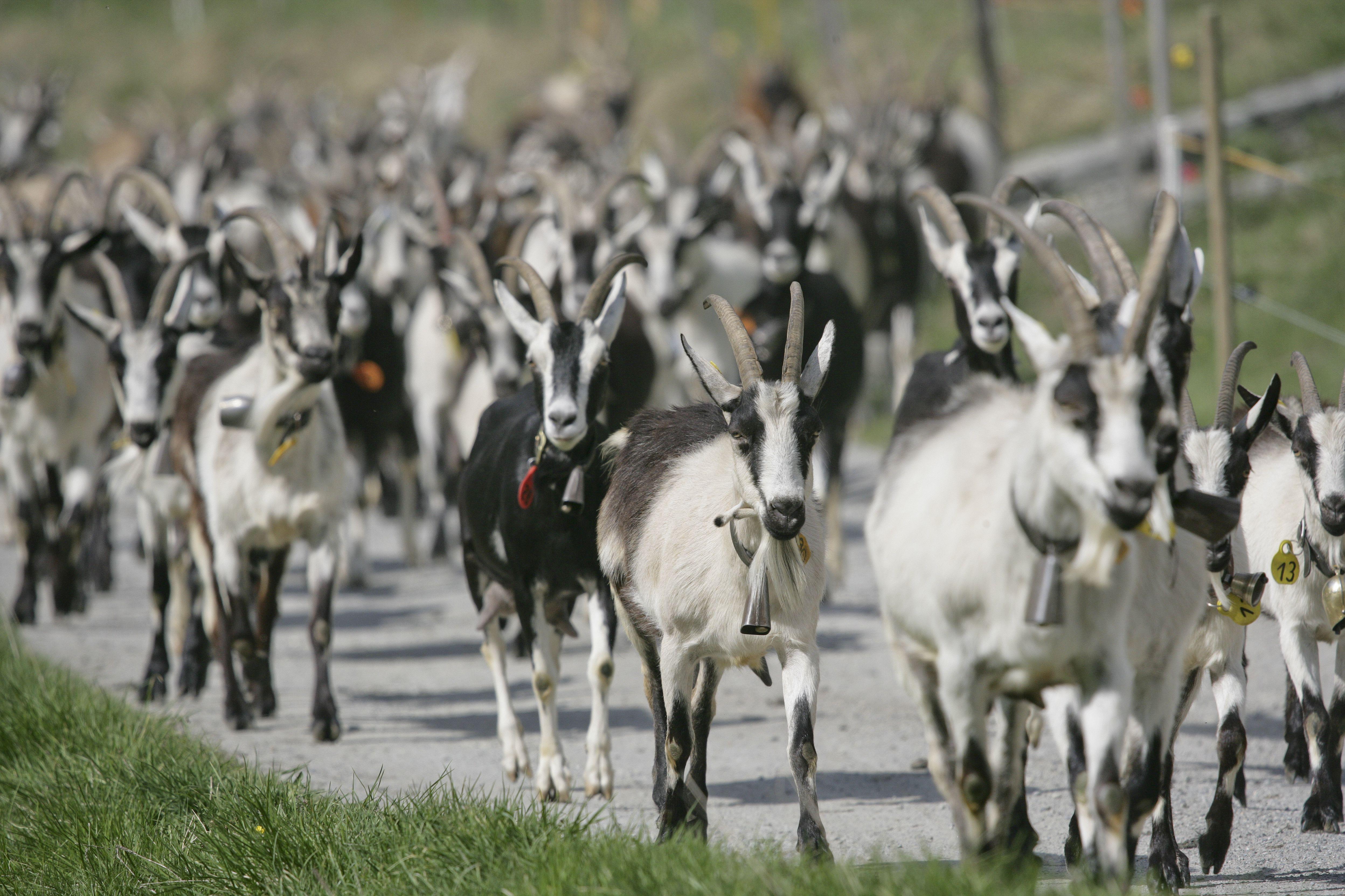 Parrainage de chèvre Envie de vous faire plaisir ou d'offrir un cadeau sympathique à un parent ou un ami? Parrainez une chèvre!